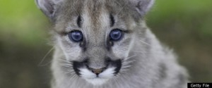 Eatern Cougar Extinct  Getty file