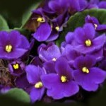 Image of African Violet