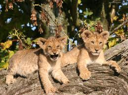 lion cubs