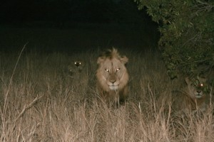 Lions Hunting at Night