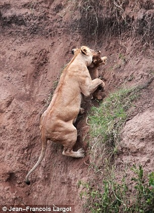 Lioness rescues cub Photo by Jean-Francois Lagrot