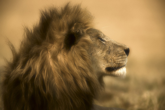 African Male Lion photo by Beverly Joubert
