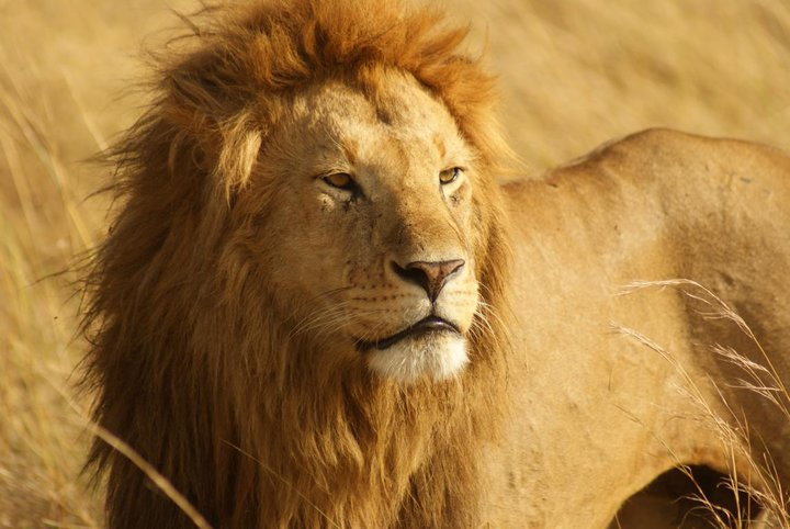 10 African Nations Propose Strongest Protection for Lions