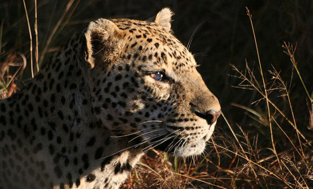 The Leopard Is More Vulnerable Than Previously Assumed