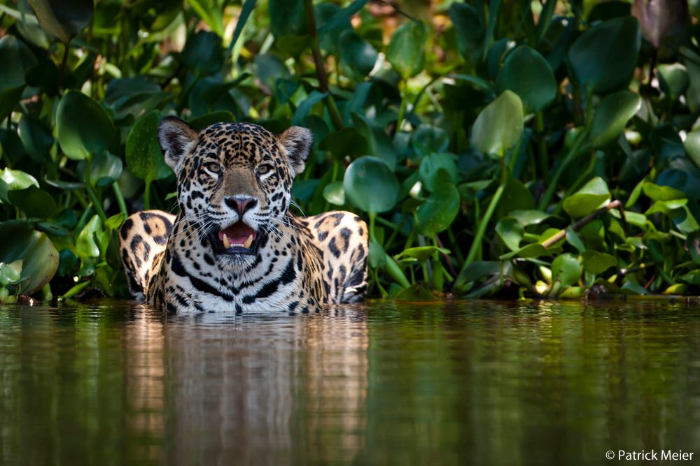 Jaguar photo by Patrick Meier