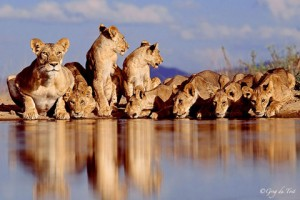Lions drinking water photo by Greg du Toit