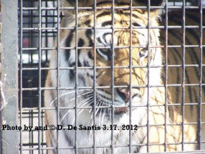 Caged Circus Tiger Close Up. Photo by Dee DeSantis