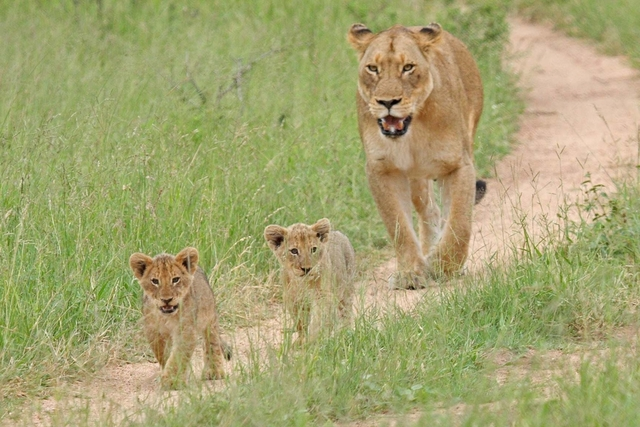 Lions on path