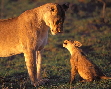 Lioness and feisty cub