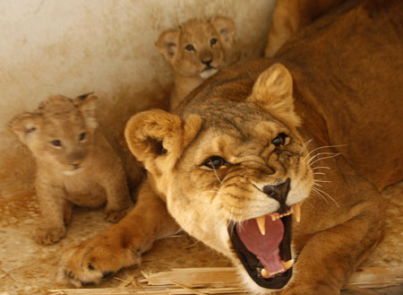 Lion protecting cubs