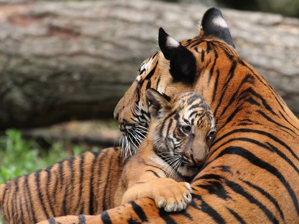 Tiger cub hugging mother