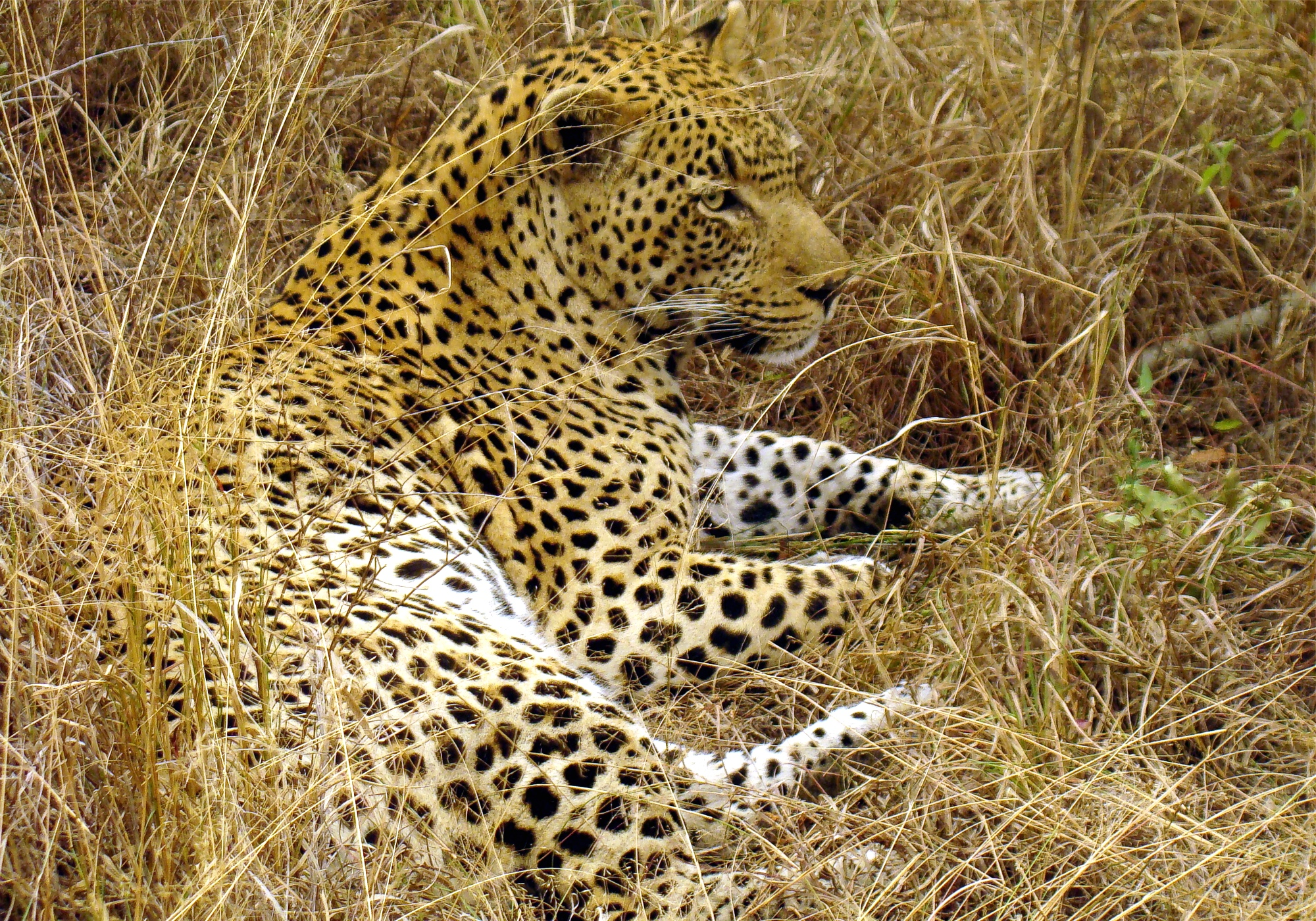 Elusive Leopards Revealed in Behavior Study