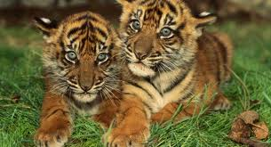 Two cubs in Ranthambore
