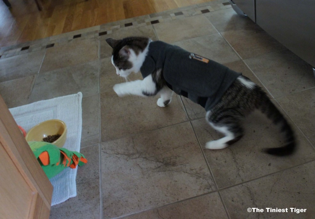 Gracey in Thundershirt for cats