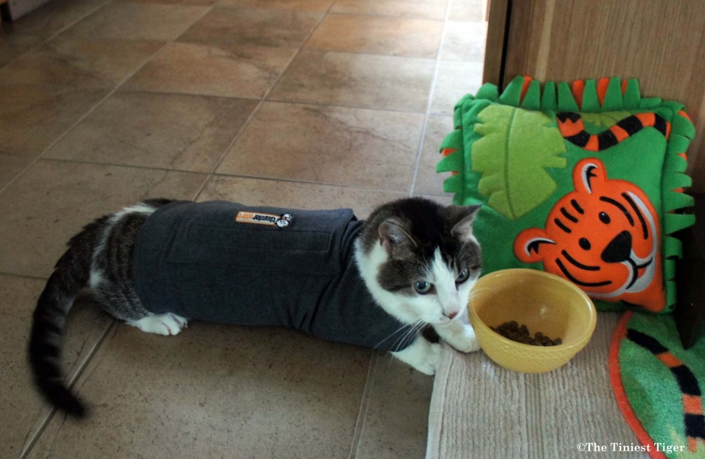 Gracey in Thundershirt thinking about Whisker Stress
