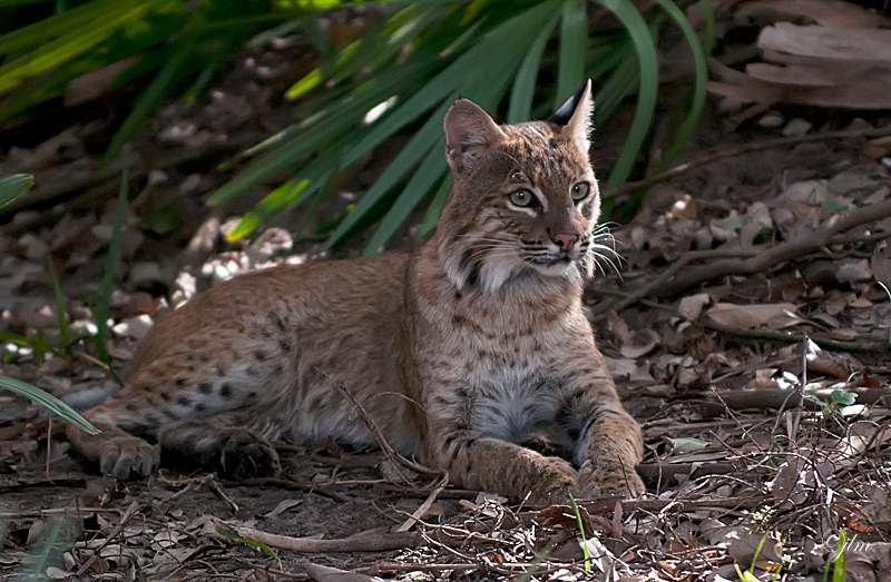 Good News for Bobcats in Ohio