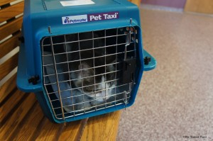 Gracey in Pet Taxi