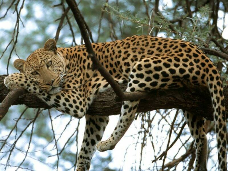 Leopards are tree dwellers