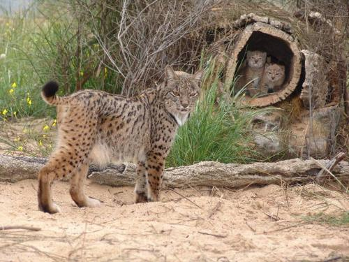 Bobcat family in den