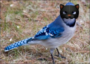 Bossy Backyard Blue Jay in Mask