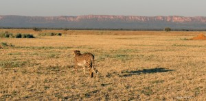 Cheetah in front of the Waterberg Plateau in Namibia