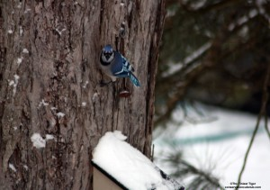 Blue Jay on Maple tree