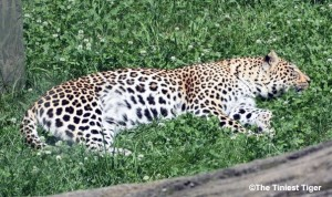 leopard at Columbus Zoo