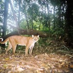 Asian Golden Cat netgeo