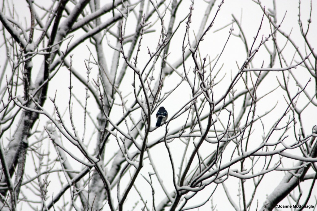 Blue Jay on snowy branches