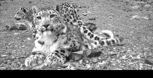 Snow leopard Panthere.org
