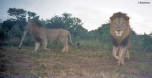 lion camera trap from Panthera