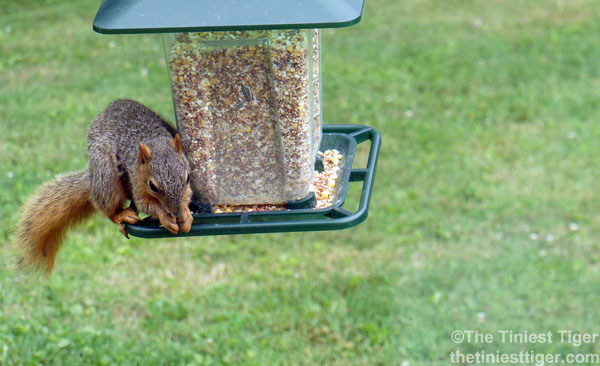 Pauls squirrel on feeder