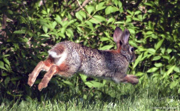 rabbit mid leap