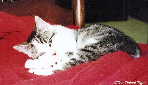 Gracey as a kitten