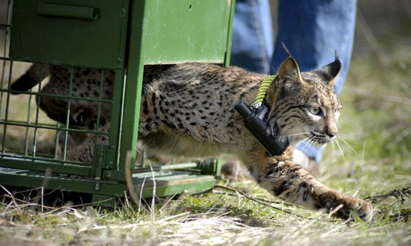 lynx released into the wild