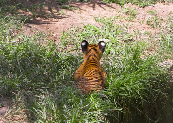 Tiger cub in the grass