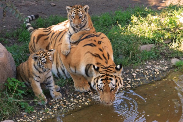 Tiger with cubs drinking water
