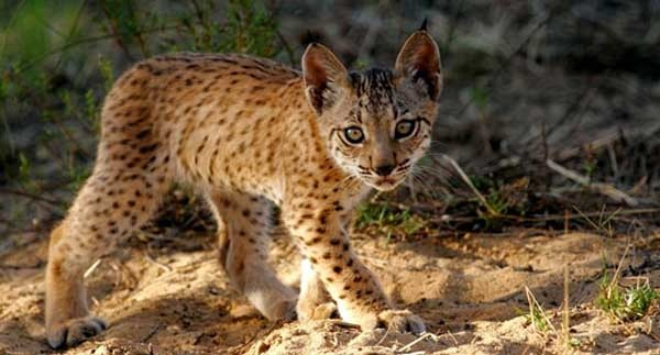 Iberian lynx Fauna & Flora International