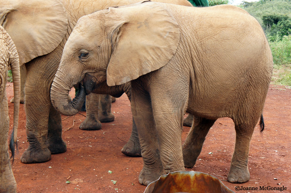 baby elephants at DSWT