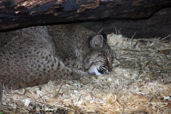 Bobcat sleeping