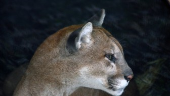 Mountain Lions Play More Than Solitaire