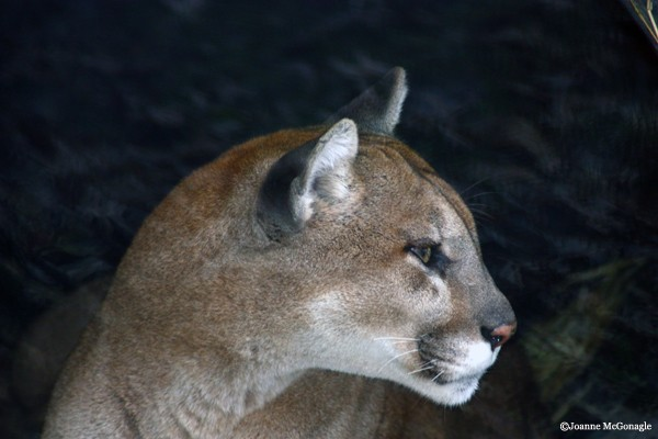 Cougar Columbus Zoo