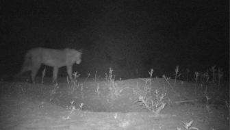 Hidden Population of African Lions Found in Remote Ethiopia