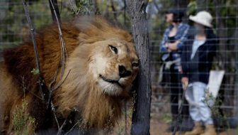 Rescued South American Circus Lions Find Sanctuary in South Africa