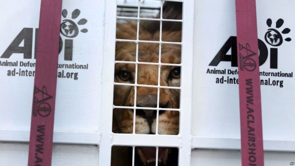 Rescued Circus lion in SA