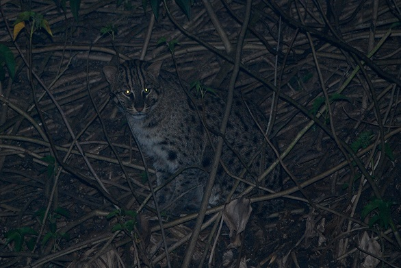 Javan Fishing Cat at night