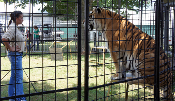 Tigers in cages