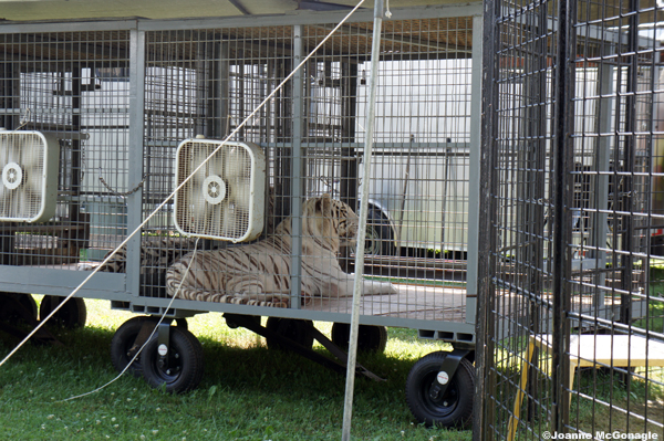 white tigers in cages