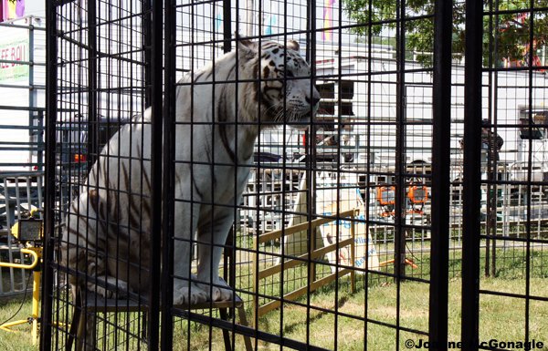 White Tiger at Perry County Fair