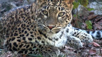 Leopards Return to the Russian Caucasus